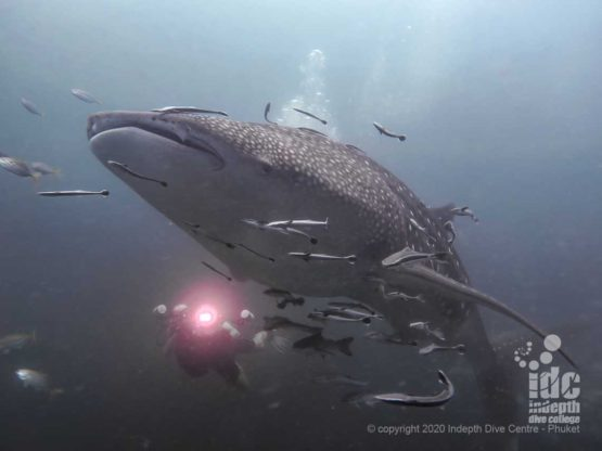 Tachai Pinnacle is one of the Thailand Dive Sites where divers are able to dive with whale shark more often