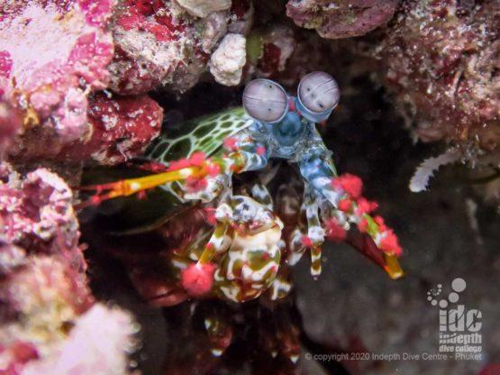 Peacock Mantis Shrimp at Tachai Reef Dive Site