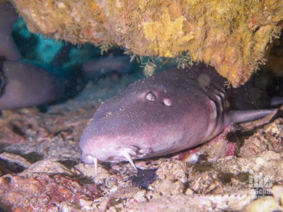 """Divers can often find nurse sharks resting on the bottom inside the large swim through at three islets dive site in Myanmar - hence the name """"shark cave"""""""