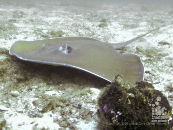 Look under the rocks at Three Islts Dive Site for good chances to spot large Jenkins whiprays