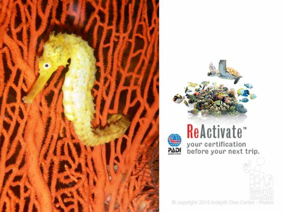 Tigertail Seahorse on a Sea Fan at Koh Racha Yai - ReActivate your Certification before your next Dive Trip to Phuket