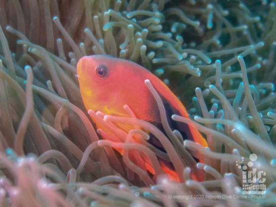 Tomato anemonefish, quite rare in Thailand, is very abundant in Myanmar diving especially at Three Islets dive site