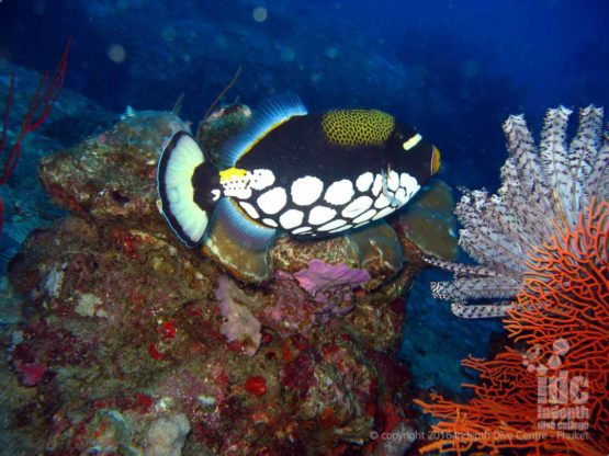 There are plenty of Trigger Fish at West of Eden Similans