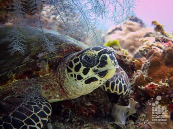 Resting turtle at Banana Bay Phuket Diving