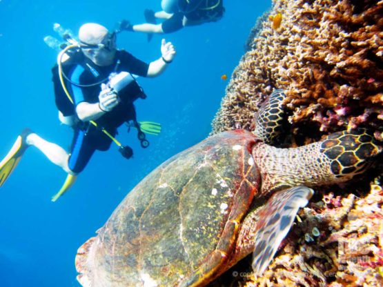 A PADI diver during a PADI Fish ID Course meets a Turtle digging in the coral