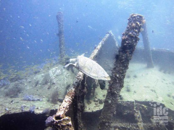 Hawksbill Turtle checking out The King Cruiser Wreck