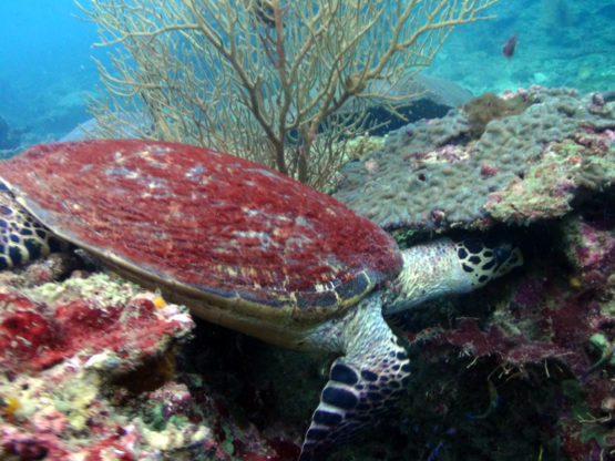 It is possible to dive with turtles at Hin Bida Phi Phi