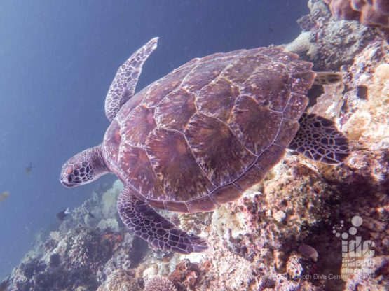 Turtle at Koh Haa Lagoon