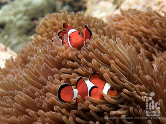 Finding Nemo at Turtle Rock, Similan Islands Dive Site