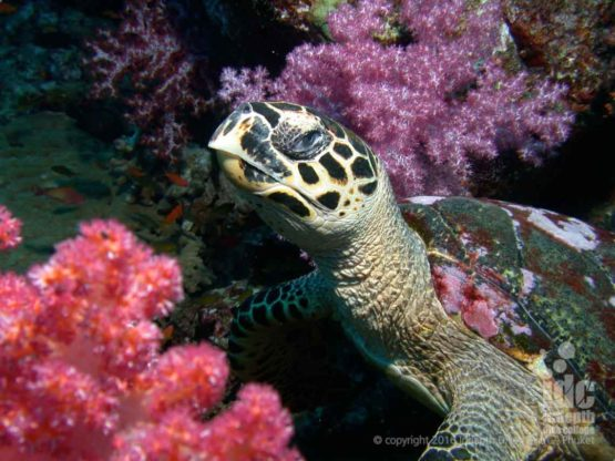Turtles are abundant on this dive site, hence the name Turtle Rock