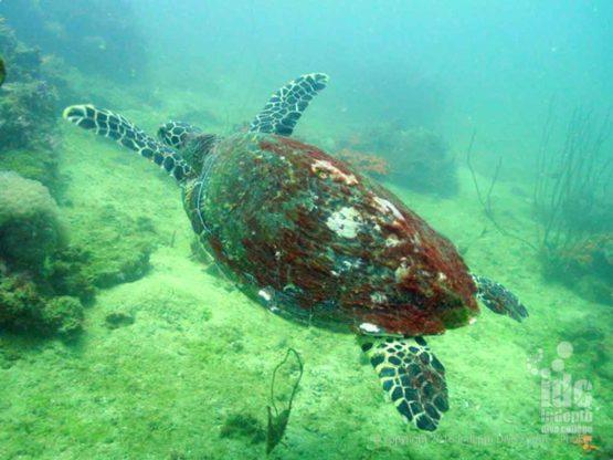 Turtle seen with scuba diving at Siam Bay with Indepth Phuket