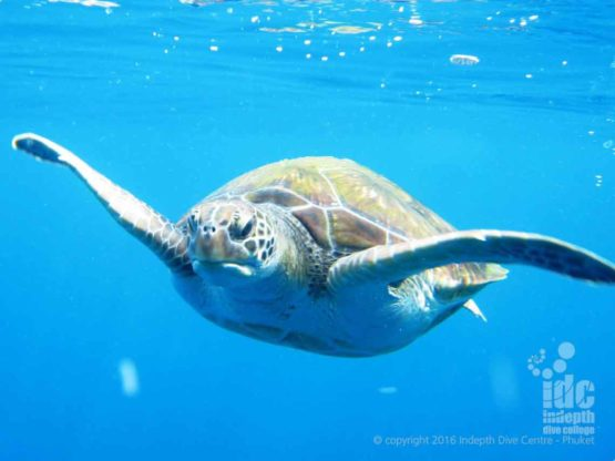 Turtles can be spotted on Hin Muang scuba dives while diving on Rebreathers