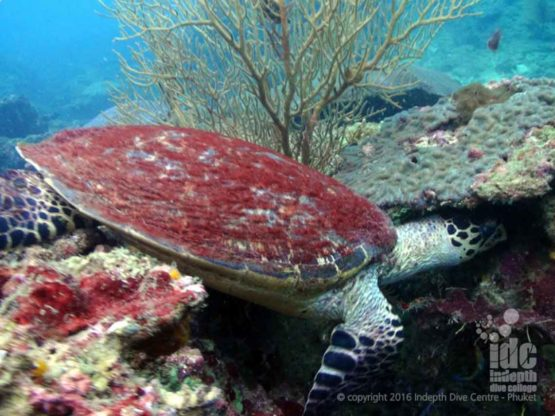 Turtle spotted at Shark Point Phuket