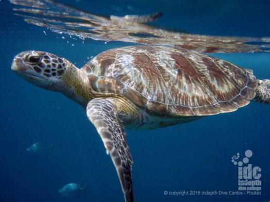 Turtles are regularly spotted on our U/W Naturalist Course Dives on Phuket Thailand