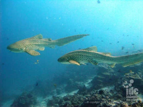 Two Leopard sharks make an amazing scuba diving memories