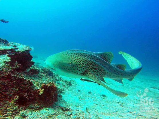 Watching Leopard sharks at Koh Bida Nok with Indepth