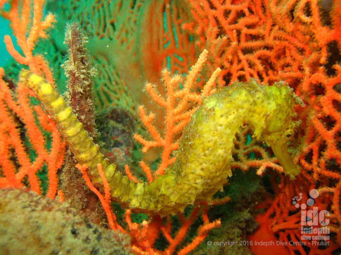 West of Eden has many Sea Horses to photograph in The Similans