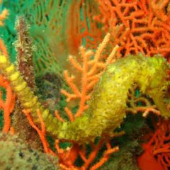 Stunning Sea Horse spotted on a Similan Liveaboard at West of Eden