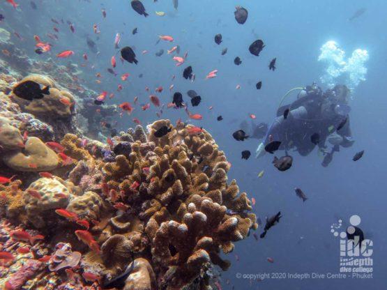 Healthy corals Similan Islands