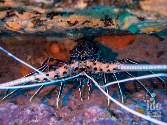 """One of the hundreds of lobsters that can be found inside the famous """"lobster cave"""" - Western Rocky Dive Site Myanmar"""