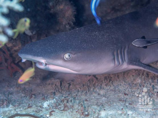 Nurse sharks are often spotted when diving Western Rocky in Myanmar