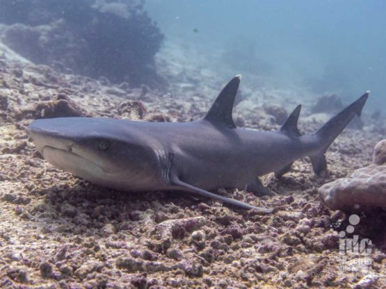 White tip reef sharks can often be spotted at the deeper end of North Point Dive Site