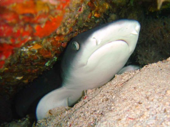 Whitetip Reef Shark seen by a Rebreather Diver at Stewart Island