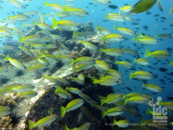 Yellow Snappers at Hin Muang in The Andaman Sea