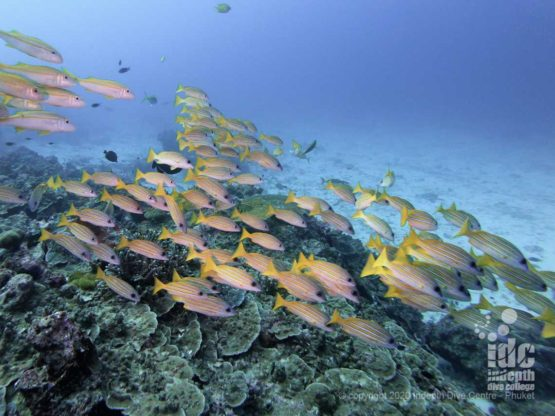 One of the few resident schools of snappers at Breakfast Bend SImilan Islands Dive Site