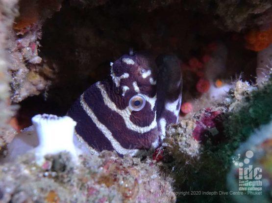 Zebra Moray eel at Hin Bida