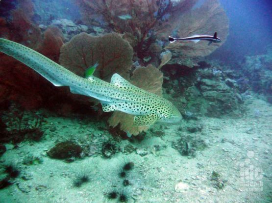 Zebra Sharks are often seen on Phuket dive sites during the PADI Adventure Diver Course
