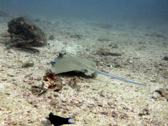 Scuba Diving with a stingray at a Mai Thon Dive Site