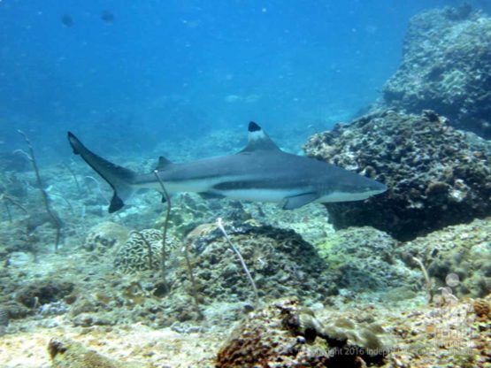 Black Tip Reef Shark at Banana Rock Phuket