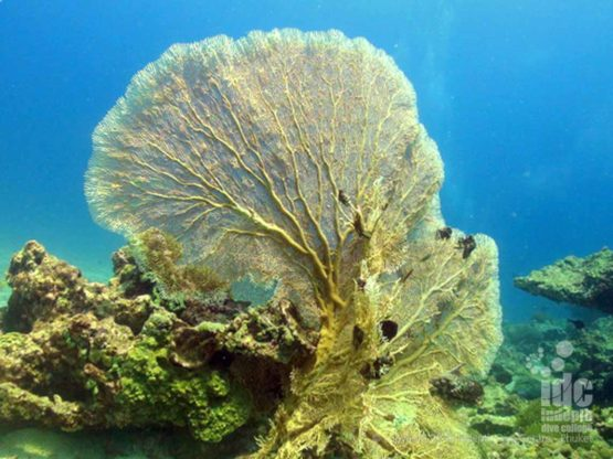 Camera Bay is famous for Sea Fans on Phuket