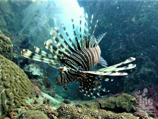 Camera Bay Lion Fish dive at Racha Noi Island