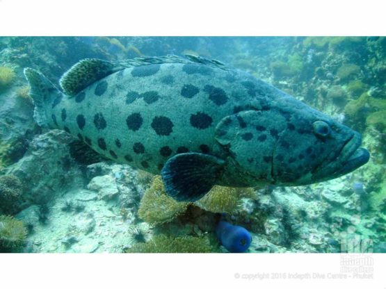 Groupers can be stopped scuba diving on Phuket with Indepth Dive Centre