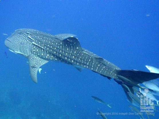 Whale Sharks can be found at Camera Bay if you are lucky