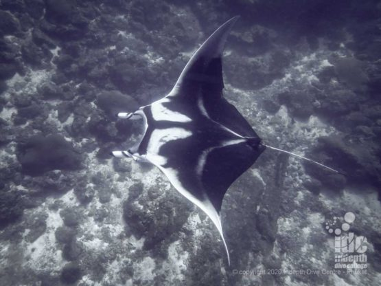 Manta Rays can sometimes be spotted while passing by Camera Bay dive site in Racha Noi