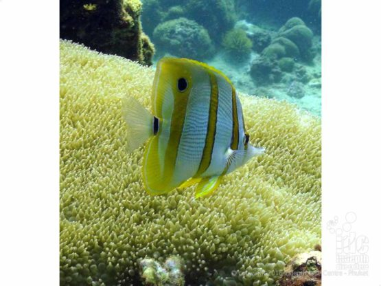 Scuba Diving Racha Islands at Camera Bay