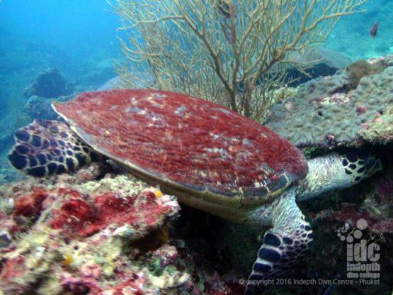 Turtle diving at Camera Bay at Racha Noi Phuket