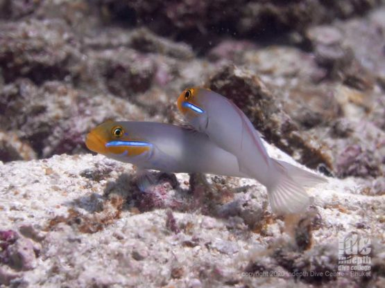 Cute pair of Yellowheaded Sleeper Goby at Camera Bay - Racha Noi Island