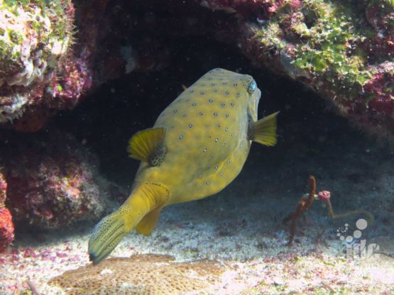 Adult yellow boxfish are common in Shark Fin Reef
