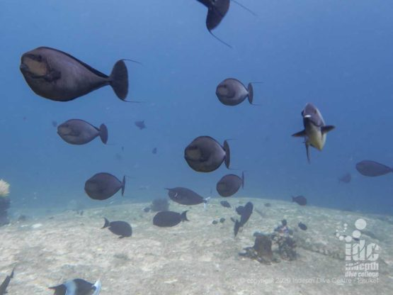 Impressive schools of unicorn fish are usually found on top of Shark Fin Reef's shallow boulders