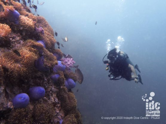 Diving Anemone Reef Phuket Dive Site with Indepth Dive Centre